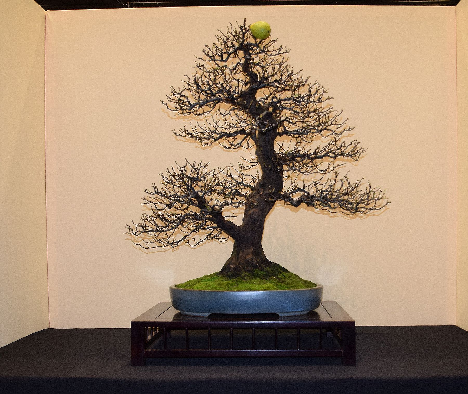euk-bonsai-ten-2016-jp-polmans-collectie-014