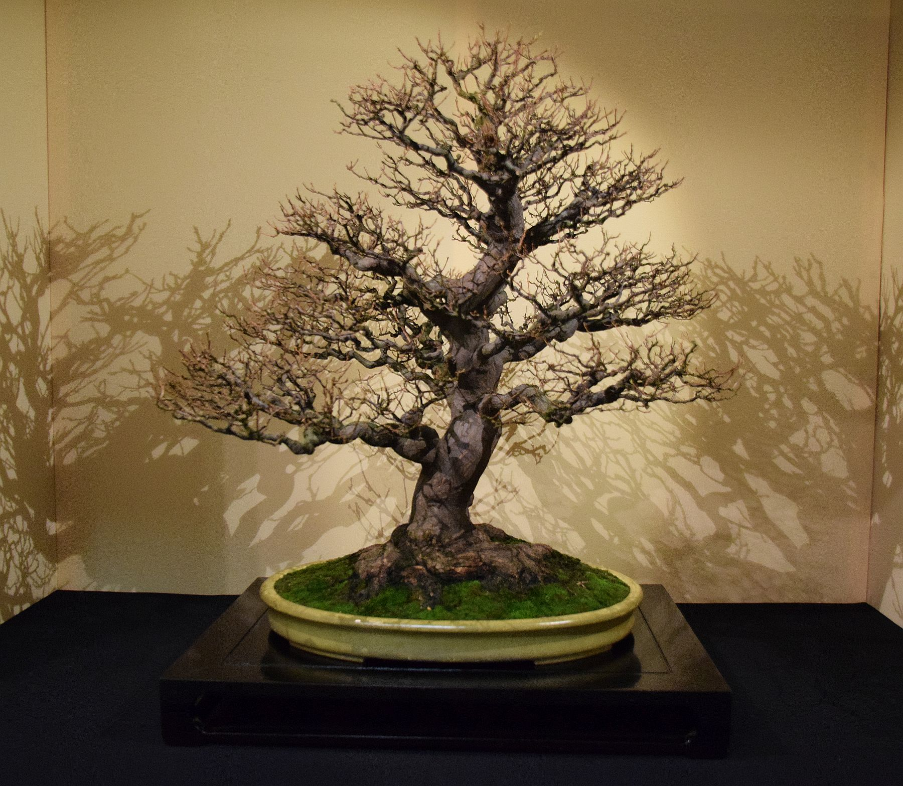 euk-bonsai-ten-2016-jp-polmans-collectie-017