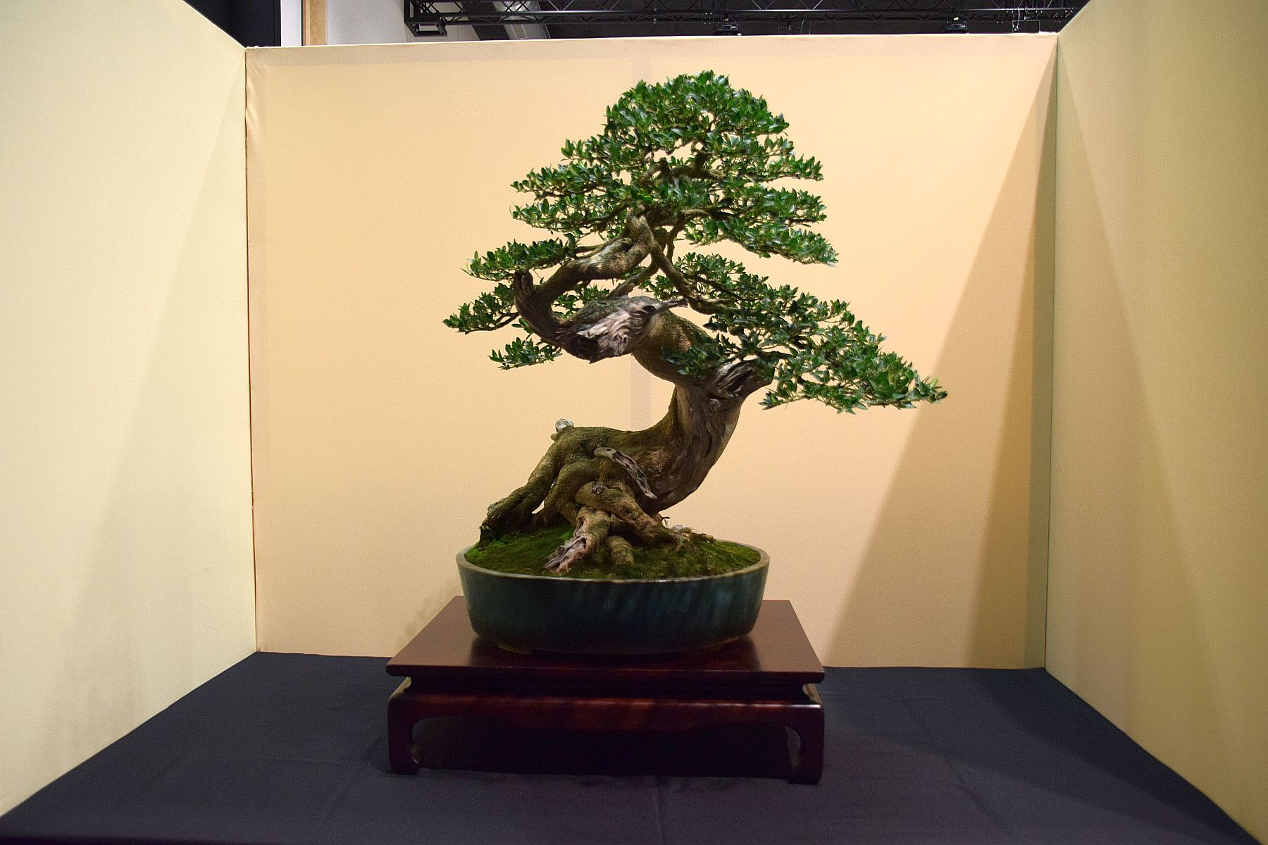 euk-bonsai-ten-2016-jp-polmans-collectie-018