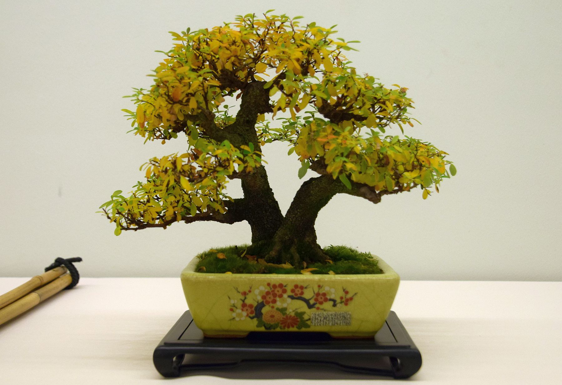 euk-bonsai-ten-2016-club-bonsai-002