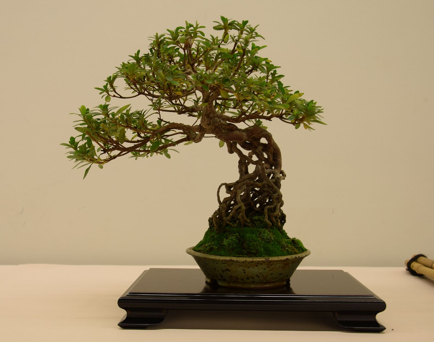euk-bonsai-ten-2016-club-bonsai-006