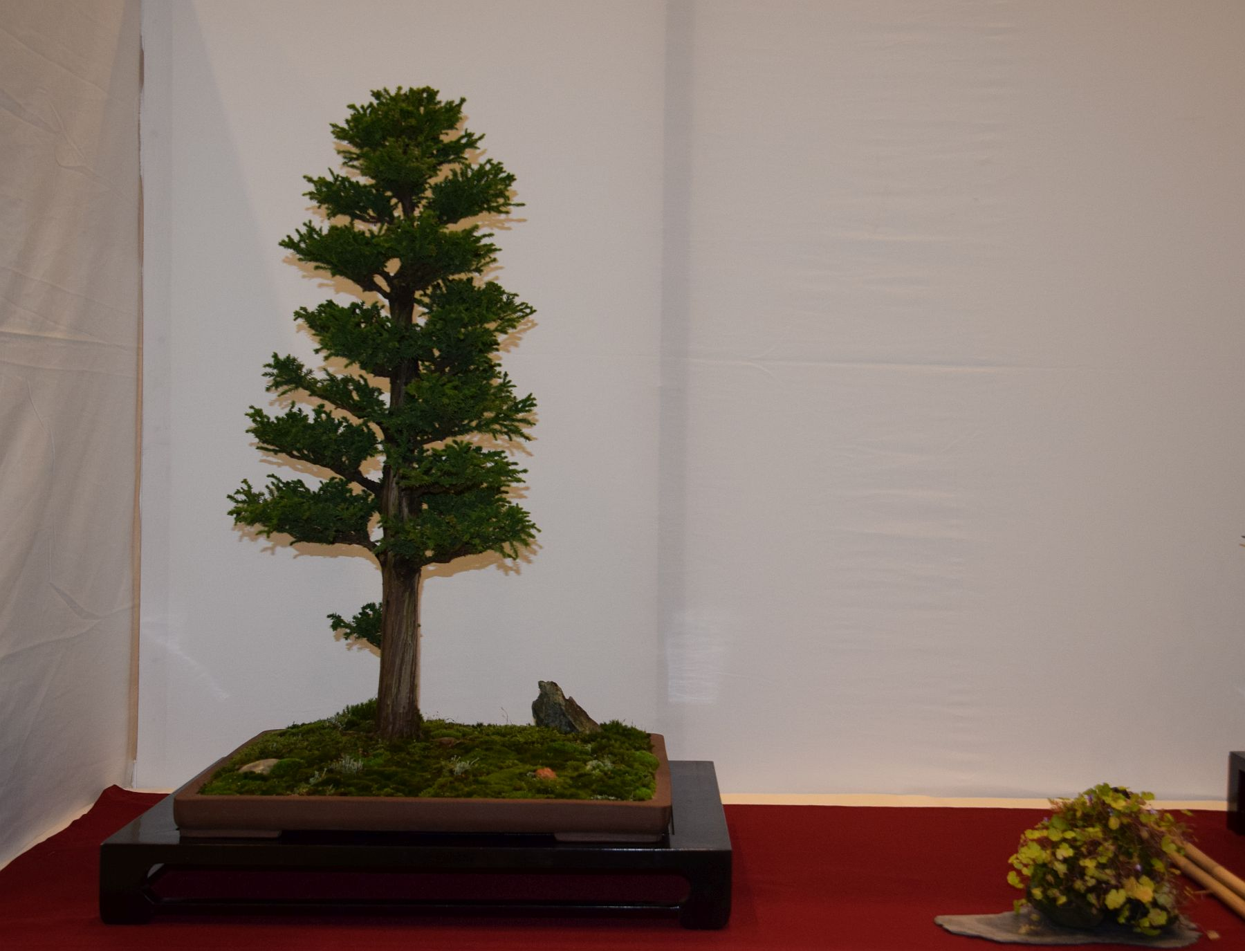 euk-bonsai-ten-2016-club-bonsai-011