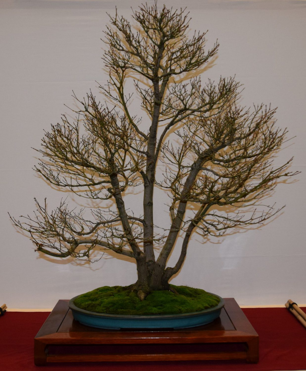 euk-bonsai-ten-2016-club-bonsai-014