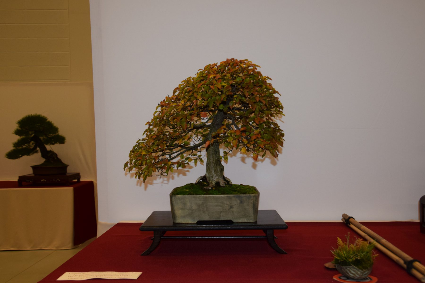 euk-bonsai-ten-2016-club-bonsai-023