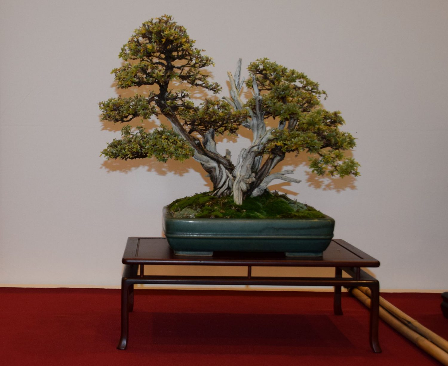 euk-bonsai-ten-2016-club-bonsai-026