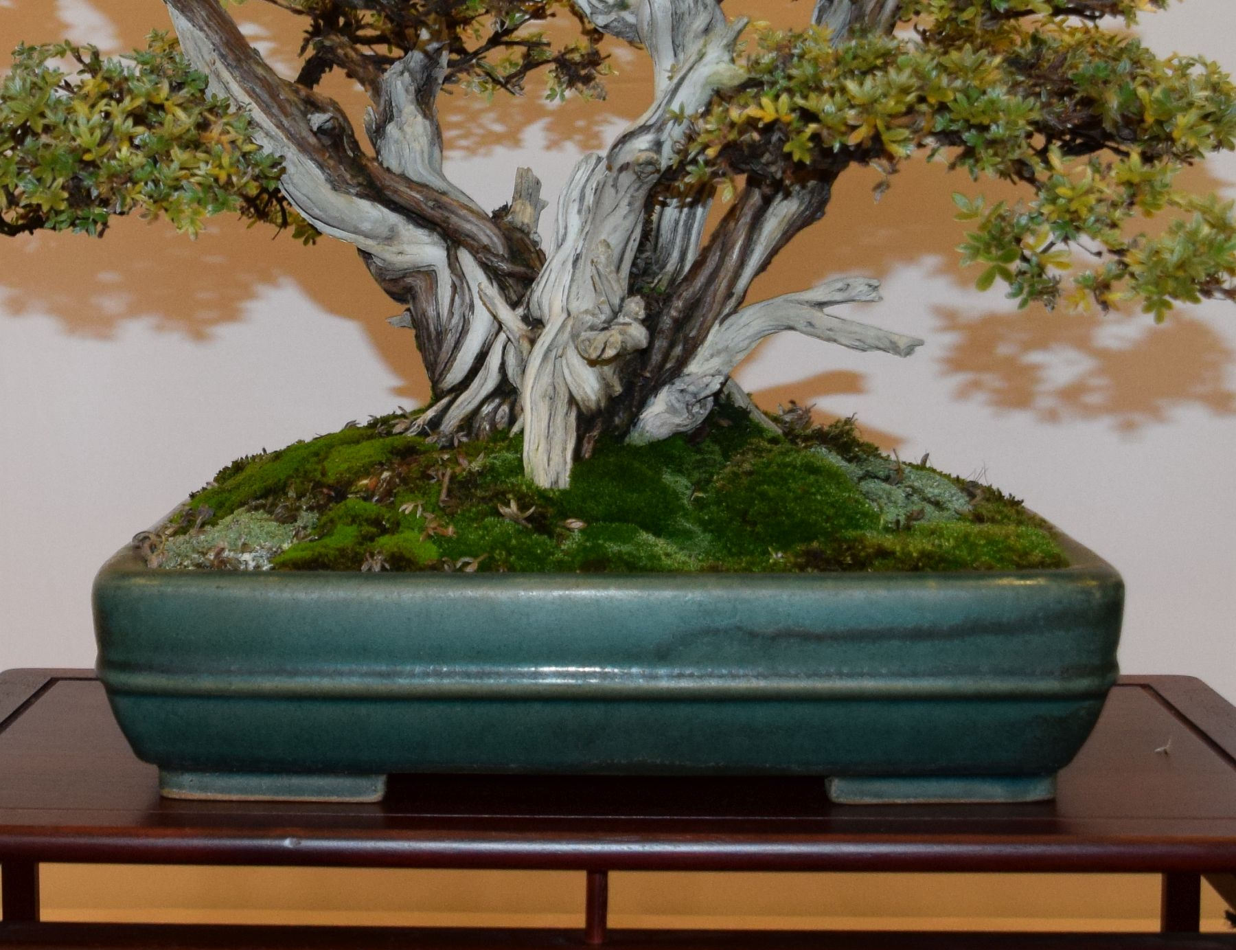 euk-bonsai-ten-2016-club-bonsai-028