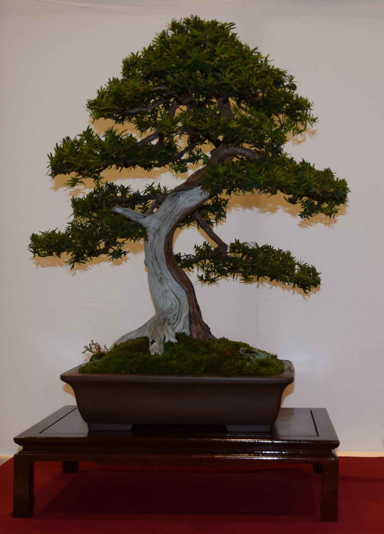 euk-bonsai-ten-2016-club-bonsai-030