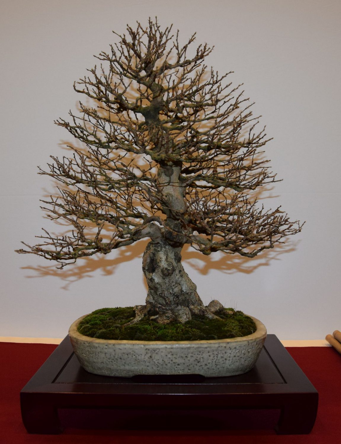 euk-bonsai-ten-2016-club-bonsai-031