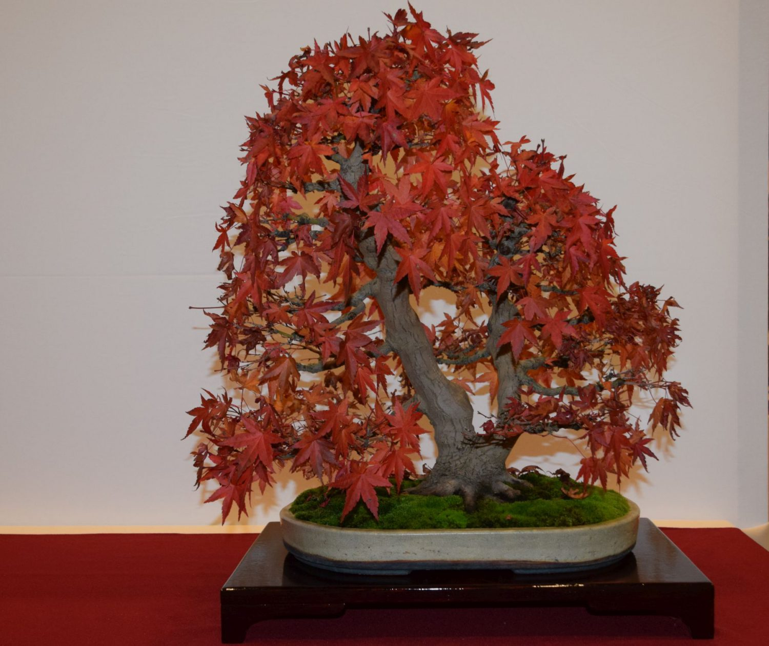 euk-bonsai-ten-2016-club-bonsai-033