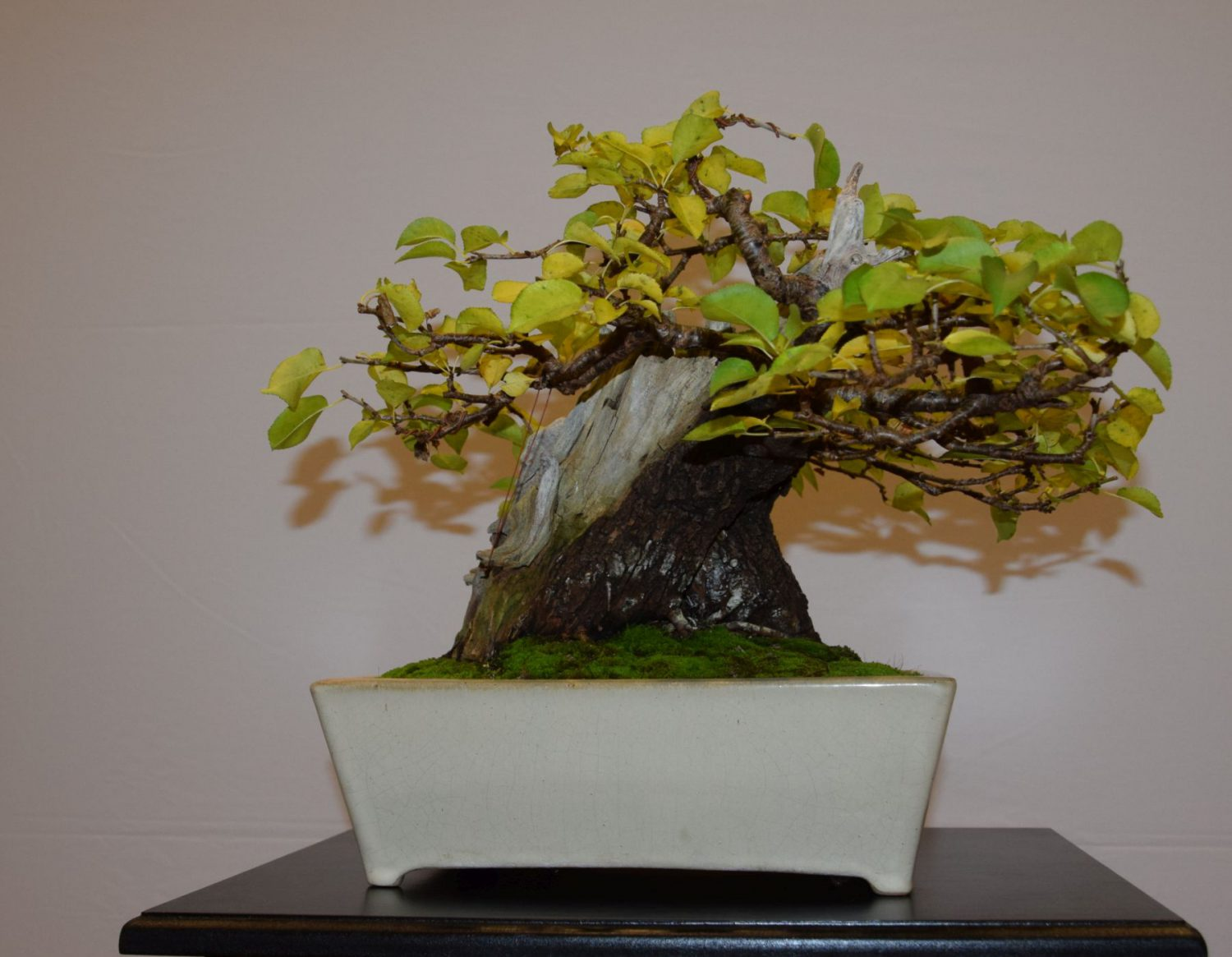 euk-bonsai-ten-2016-club-bonsai-036