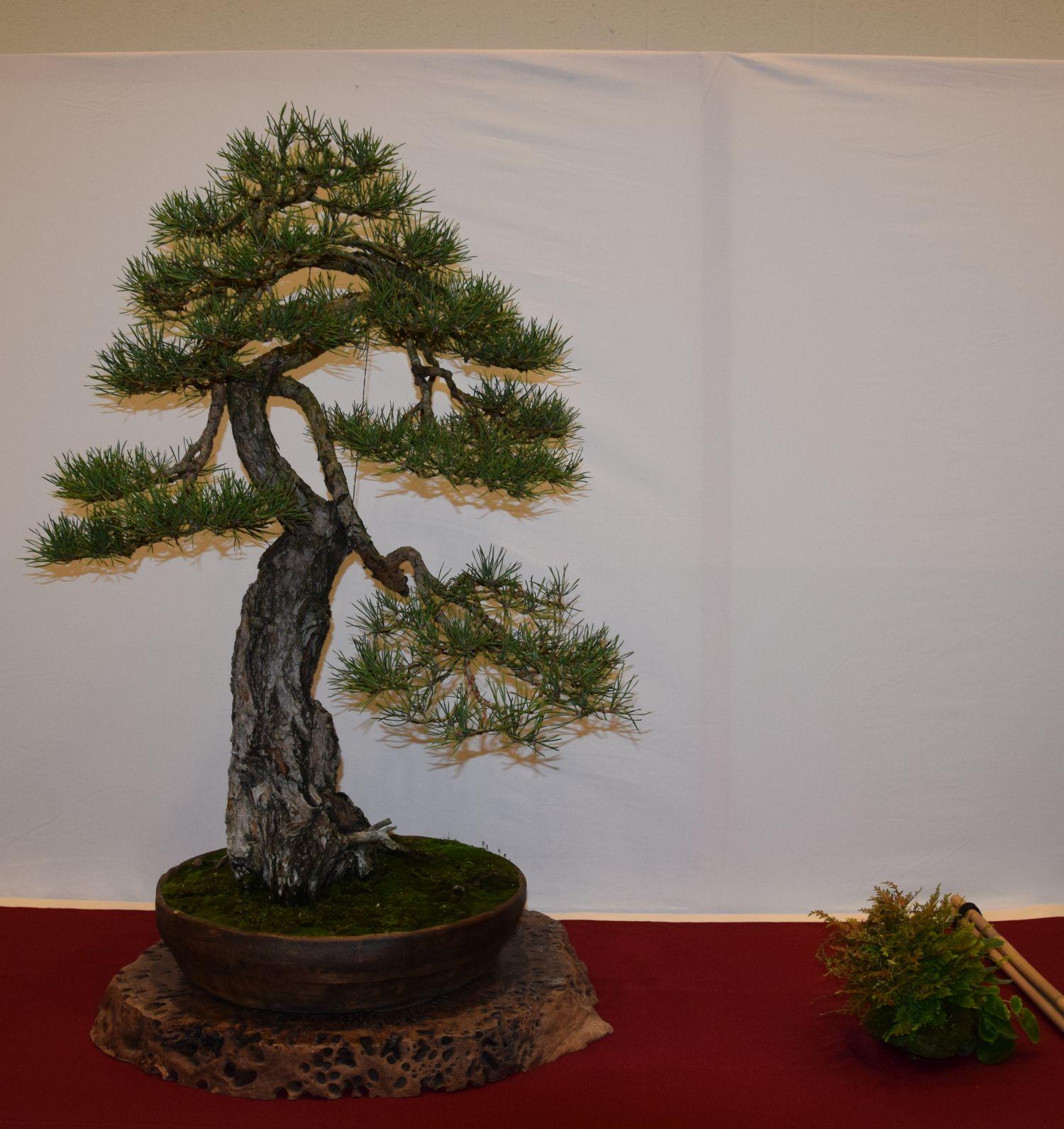 euk-bonsai-ten-2016-club-bonsai-044