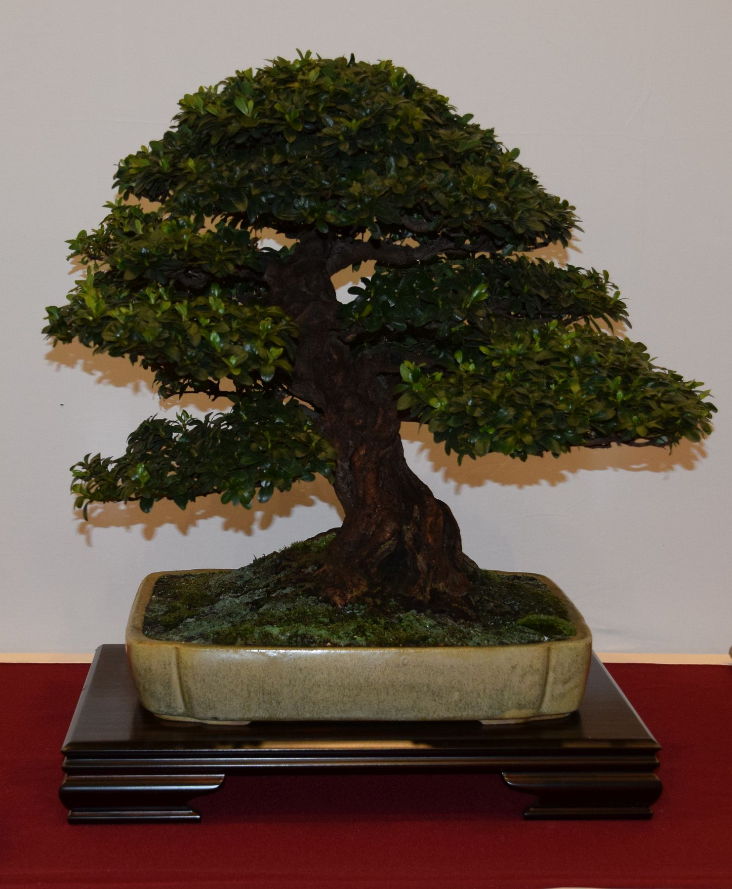 euk-bonsai-ten-2016-club-bonsai-050