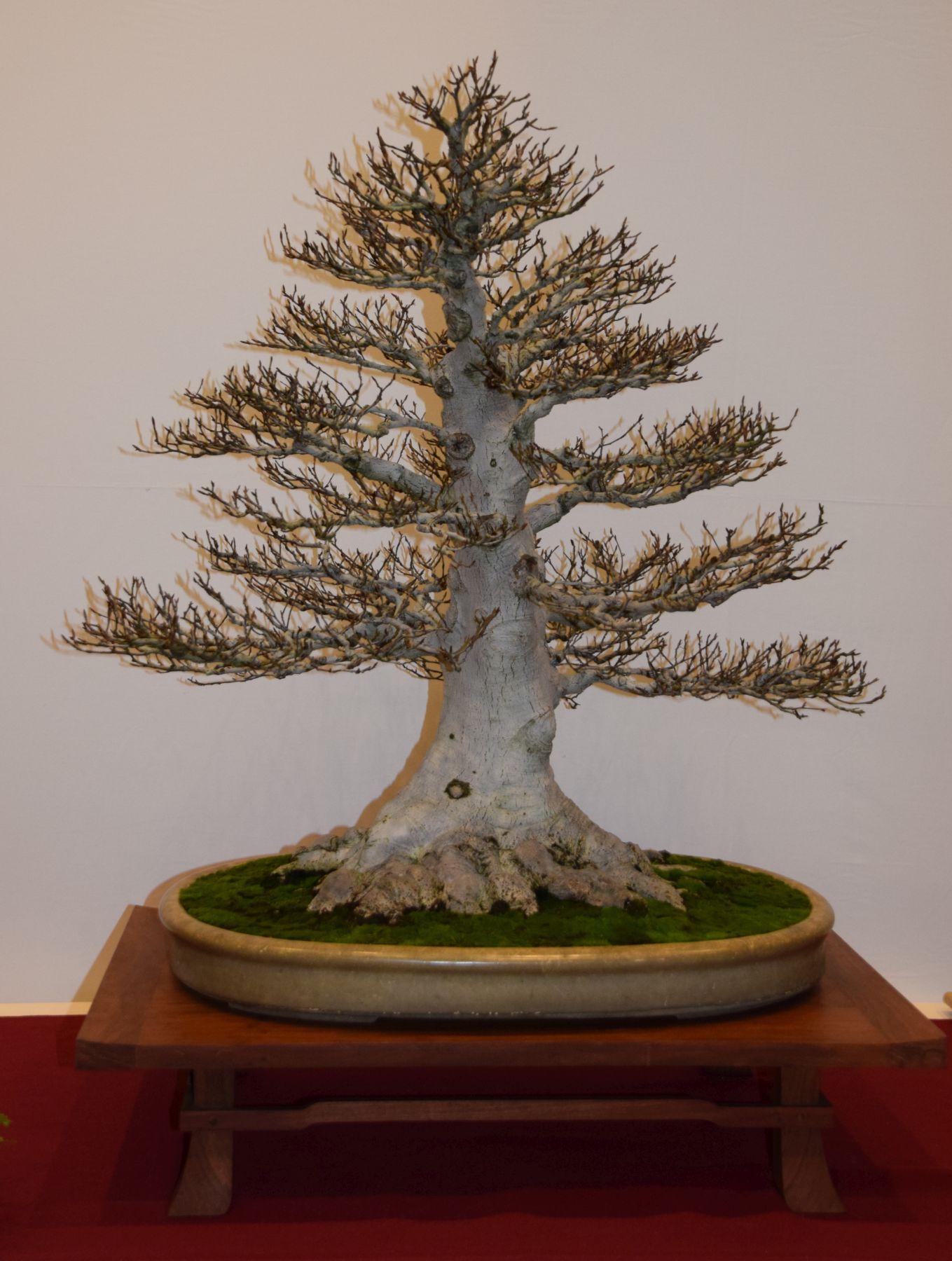 euk-bonsai-ten-2016-club-bonsai-051