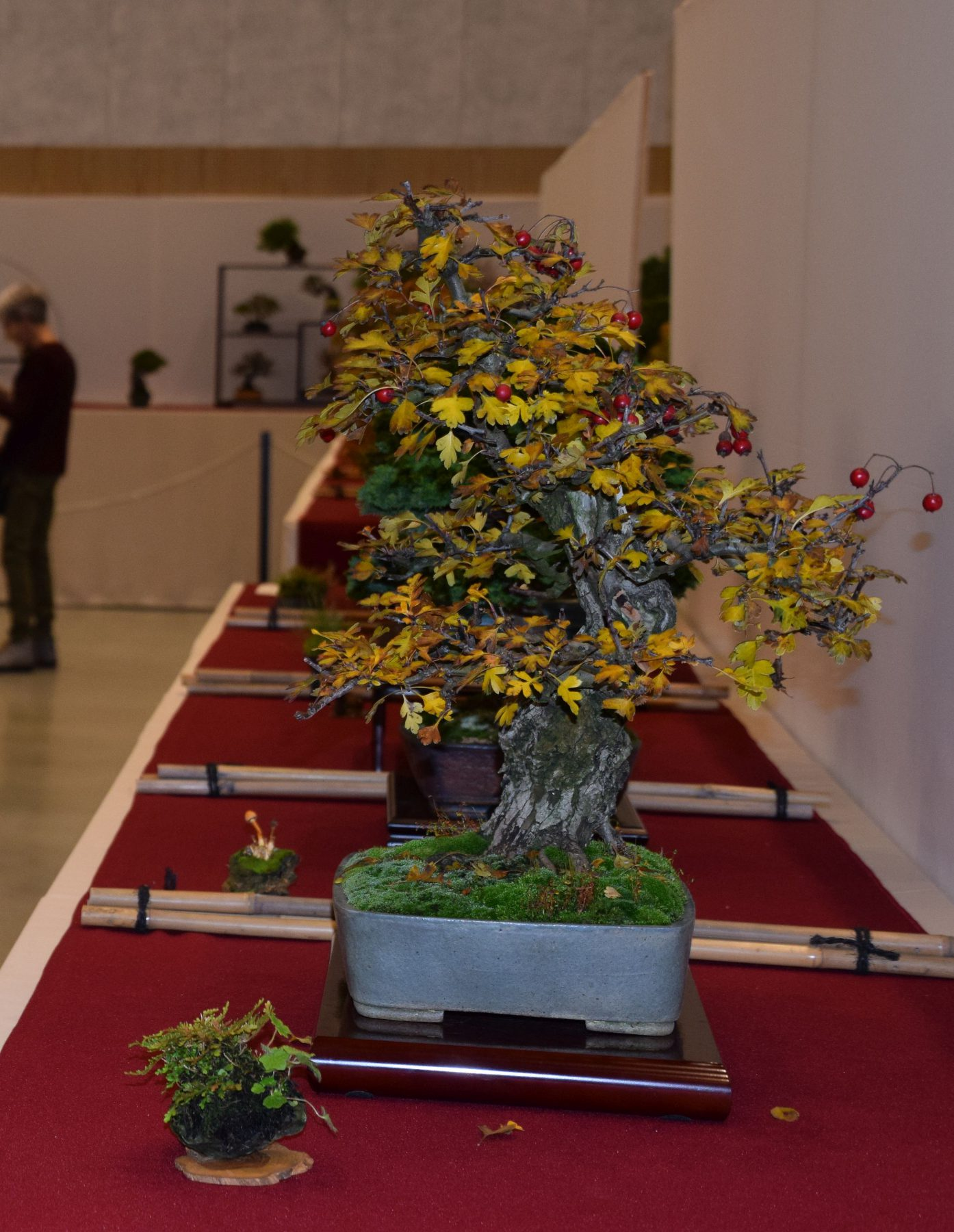 euk-bonsai-ten-2016-club-bonsai-052