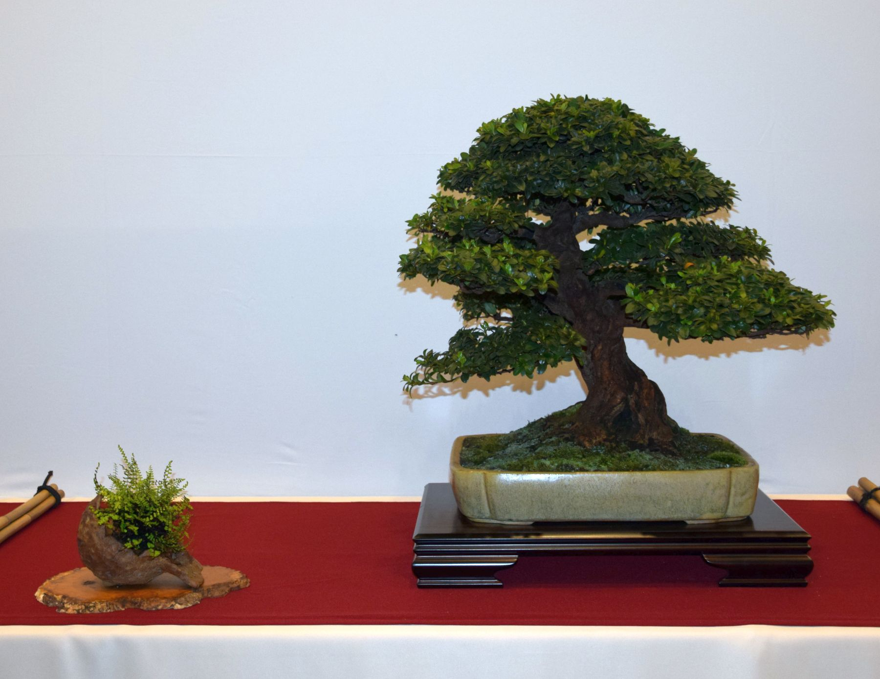 euk-bonsai-ten-2016-club-bonsai-056