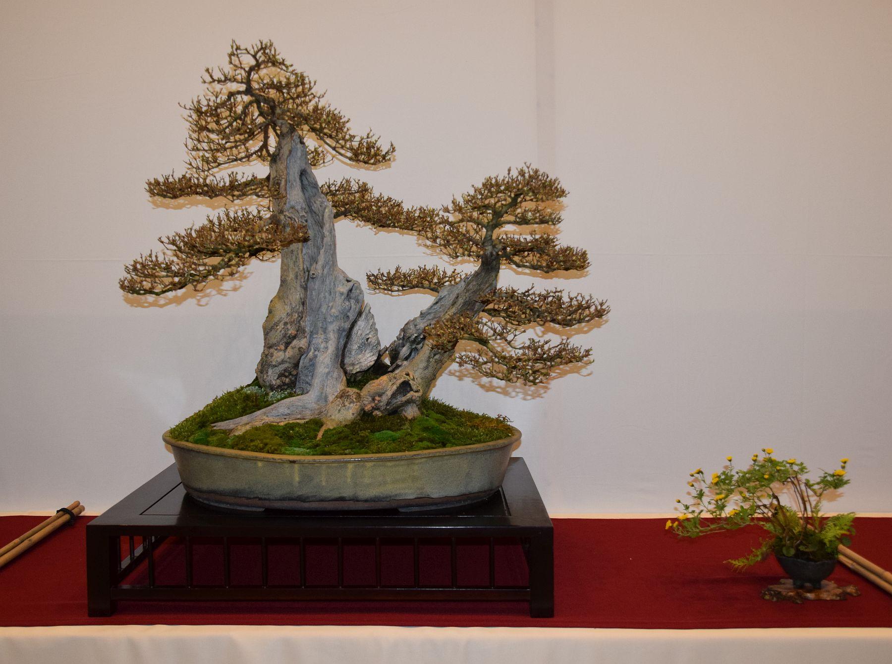 euk-bonsai-ten-2016-club-bonsai-057