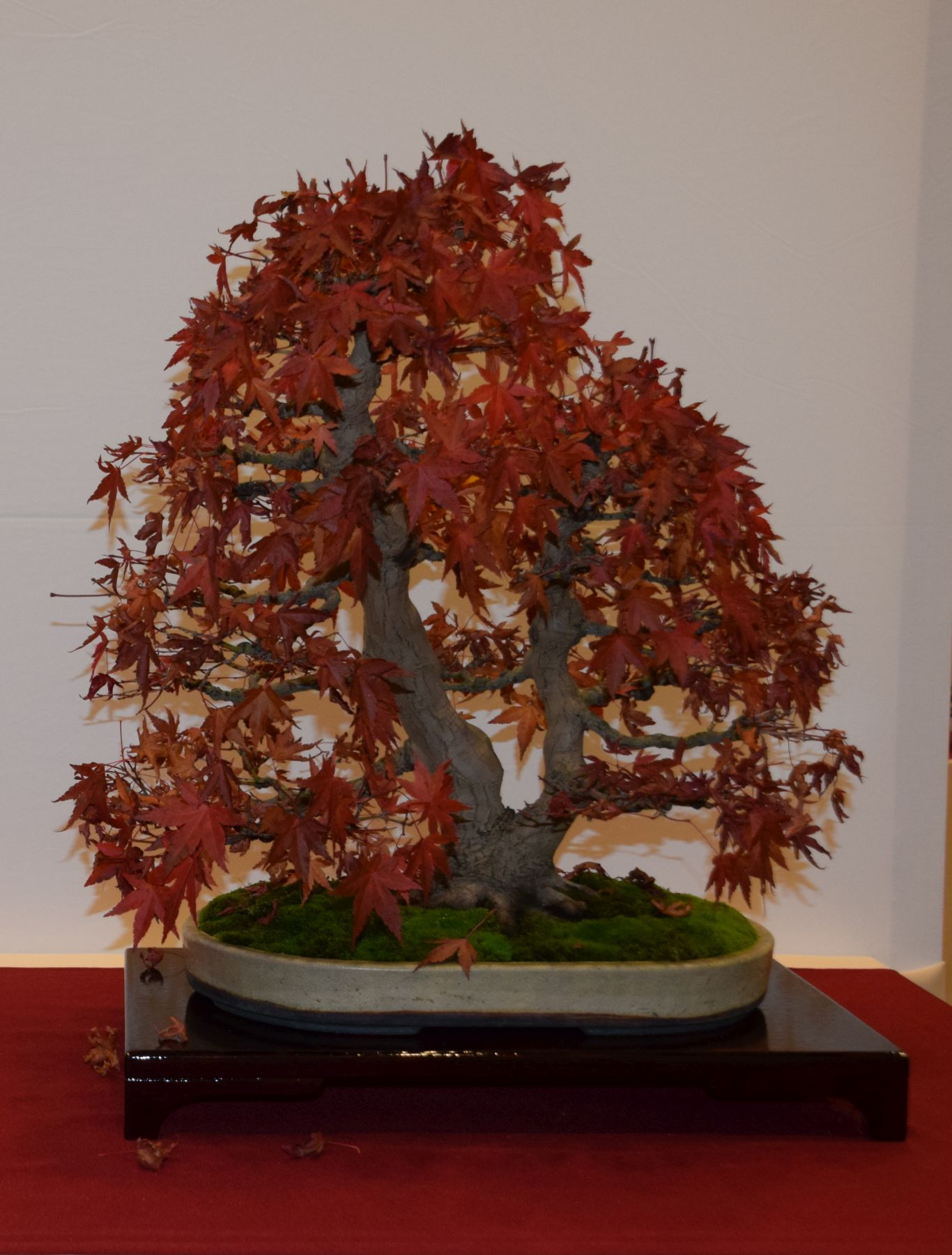 euk-bonsai-ten-2016-club-bonsai-061