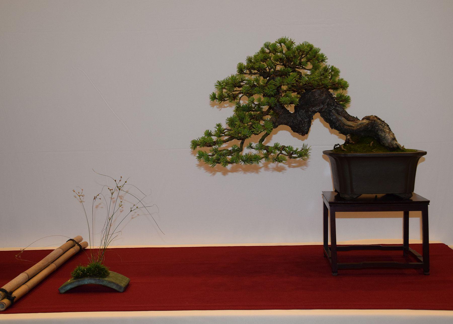 euk-bonsai-ten-2016-club-bonsai-072