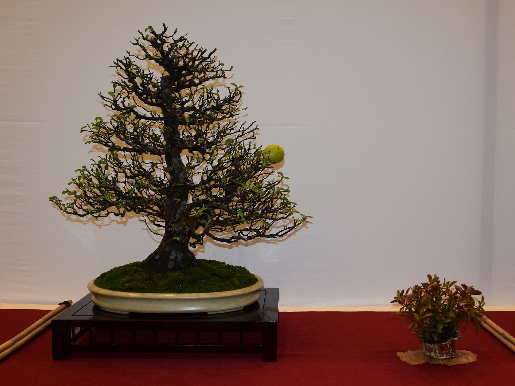 euk-bonsai-ten-2016-club-bonsai-094