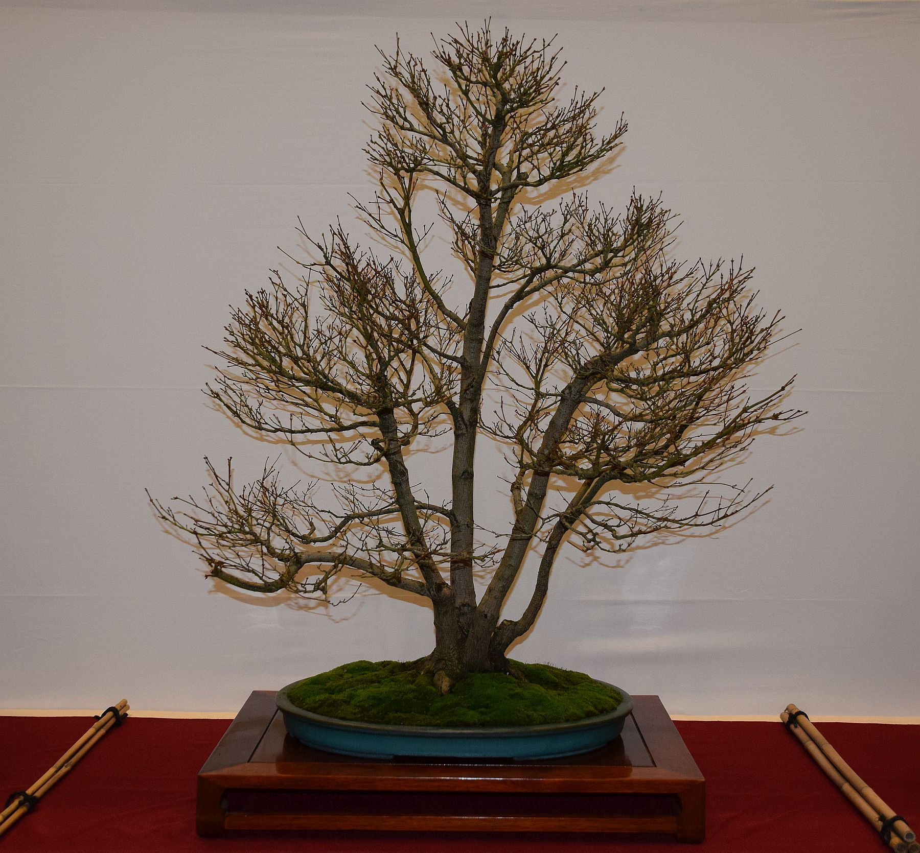 euk-bonsai-ten-2016-club-bonsai-099
