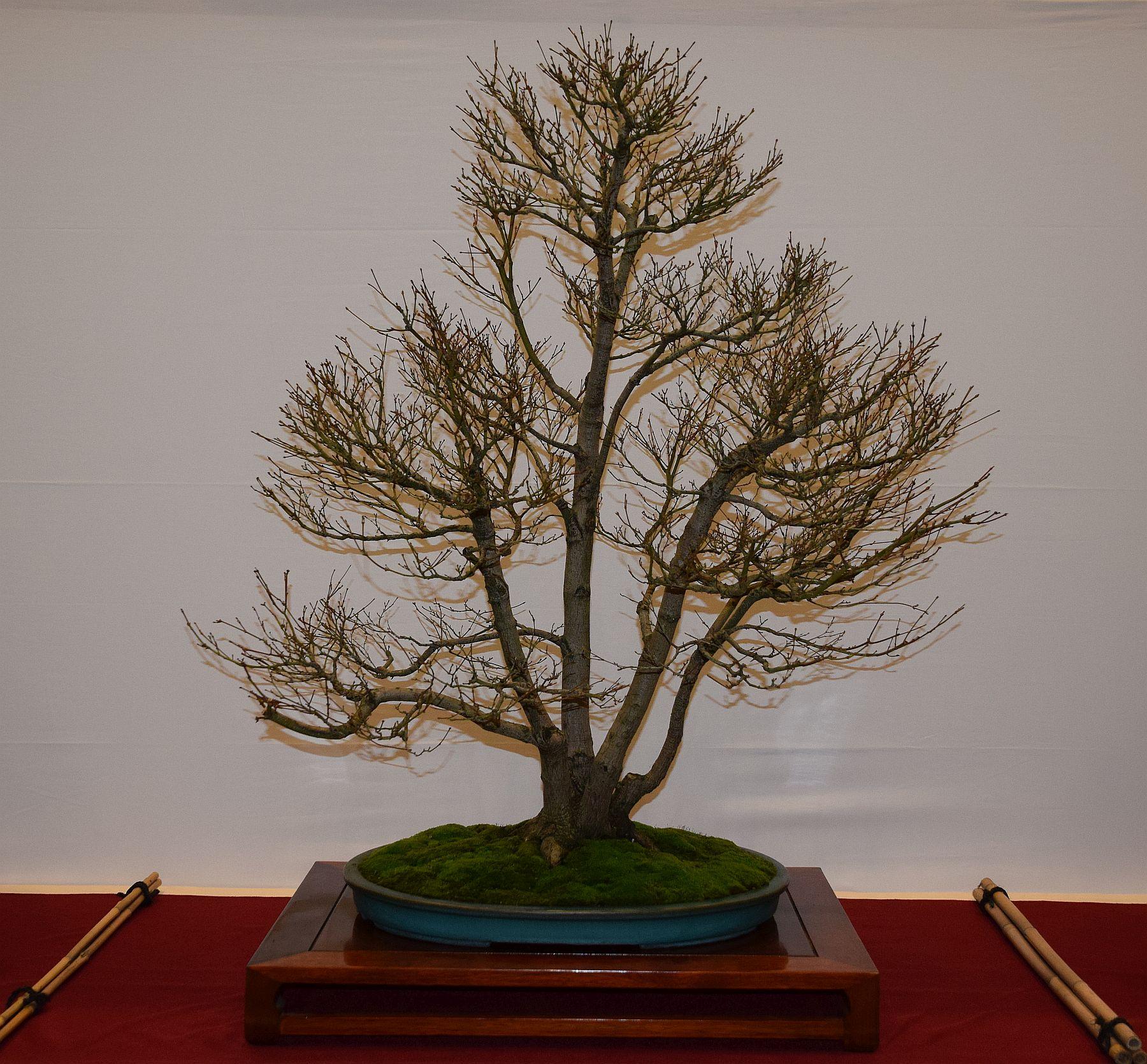 euk-bonsai-ten-2016-club-bonsai-099