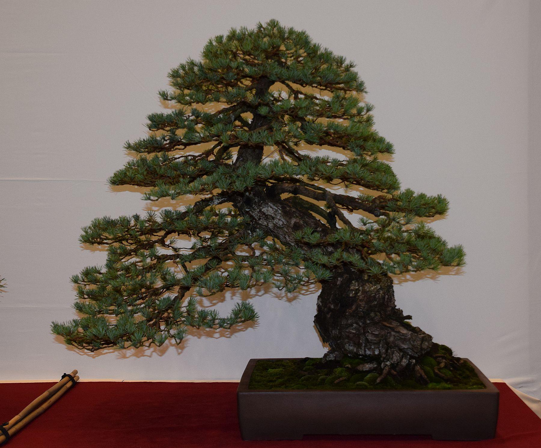 euk-bonsai-ten-2016-club-bonsai-101