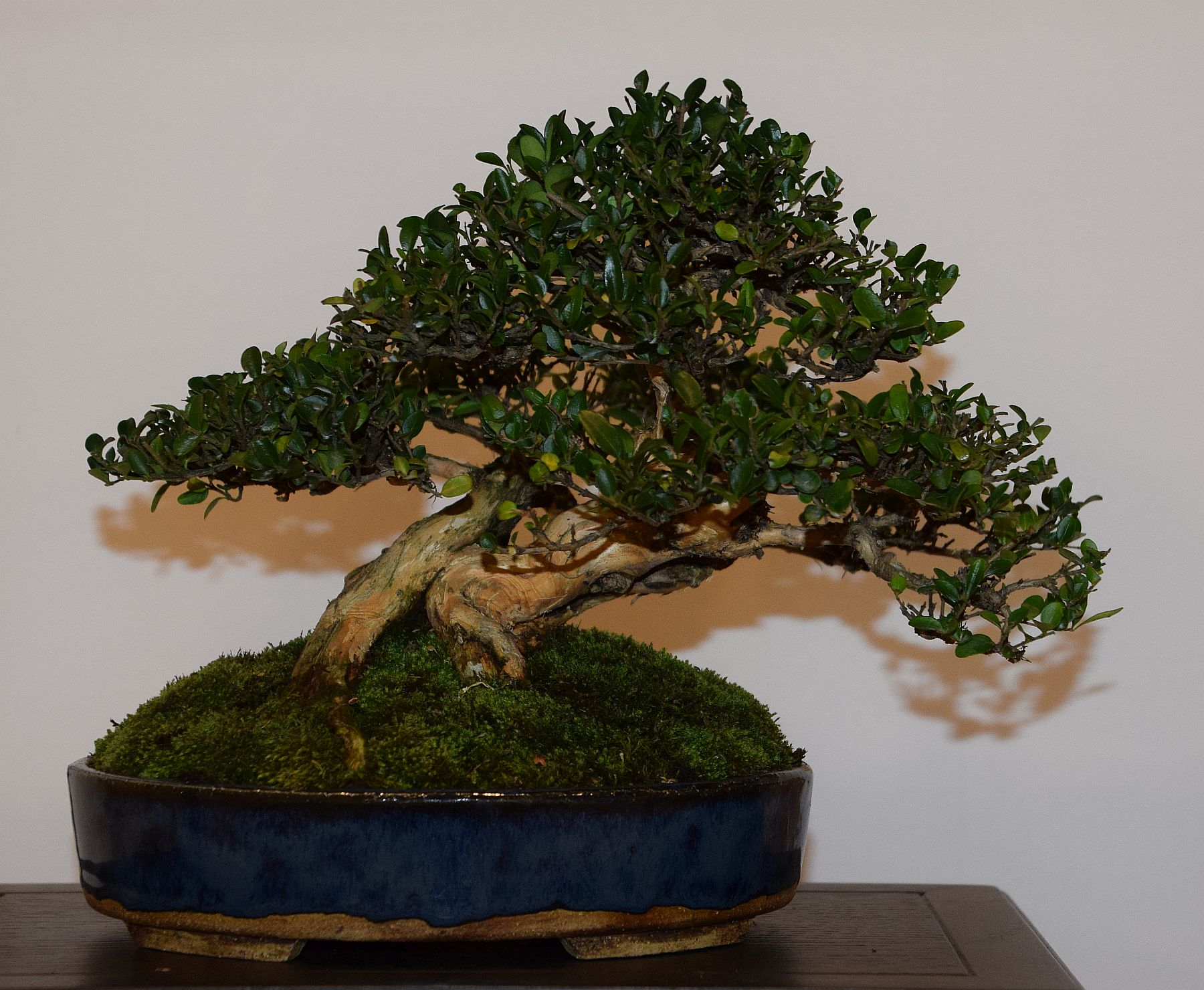 euk-bonsai-ten-2016-club-bonsai-103
