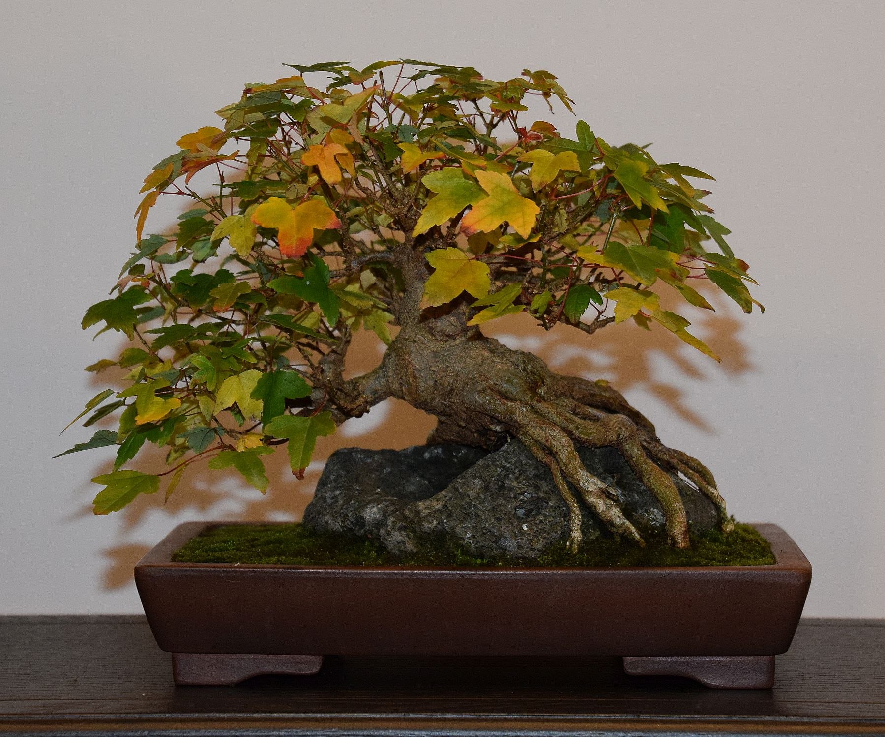 euk-bonsai-ten-2016-club-bonsai-104