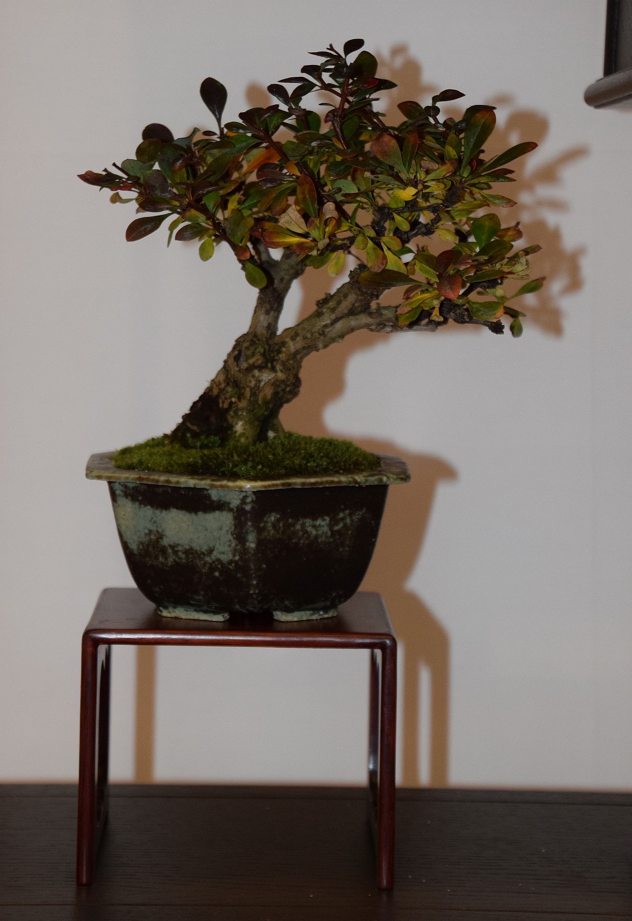 euk-bonsai-ten-2016-club-bonsai-105