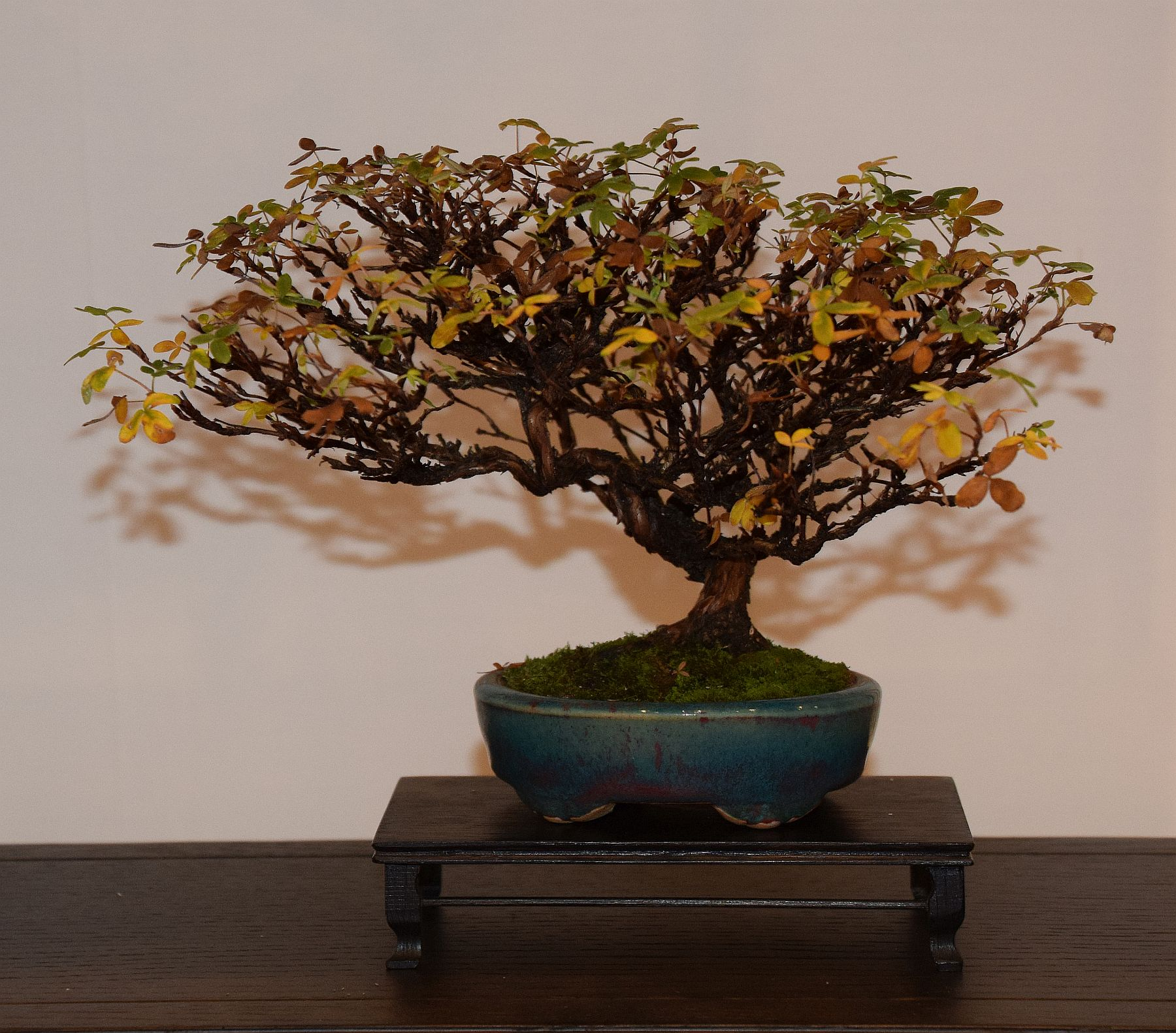 euk-bonsai-ten-2016-club-bonsai-106