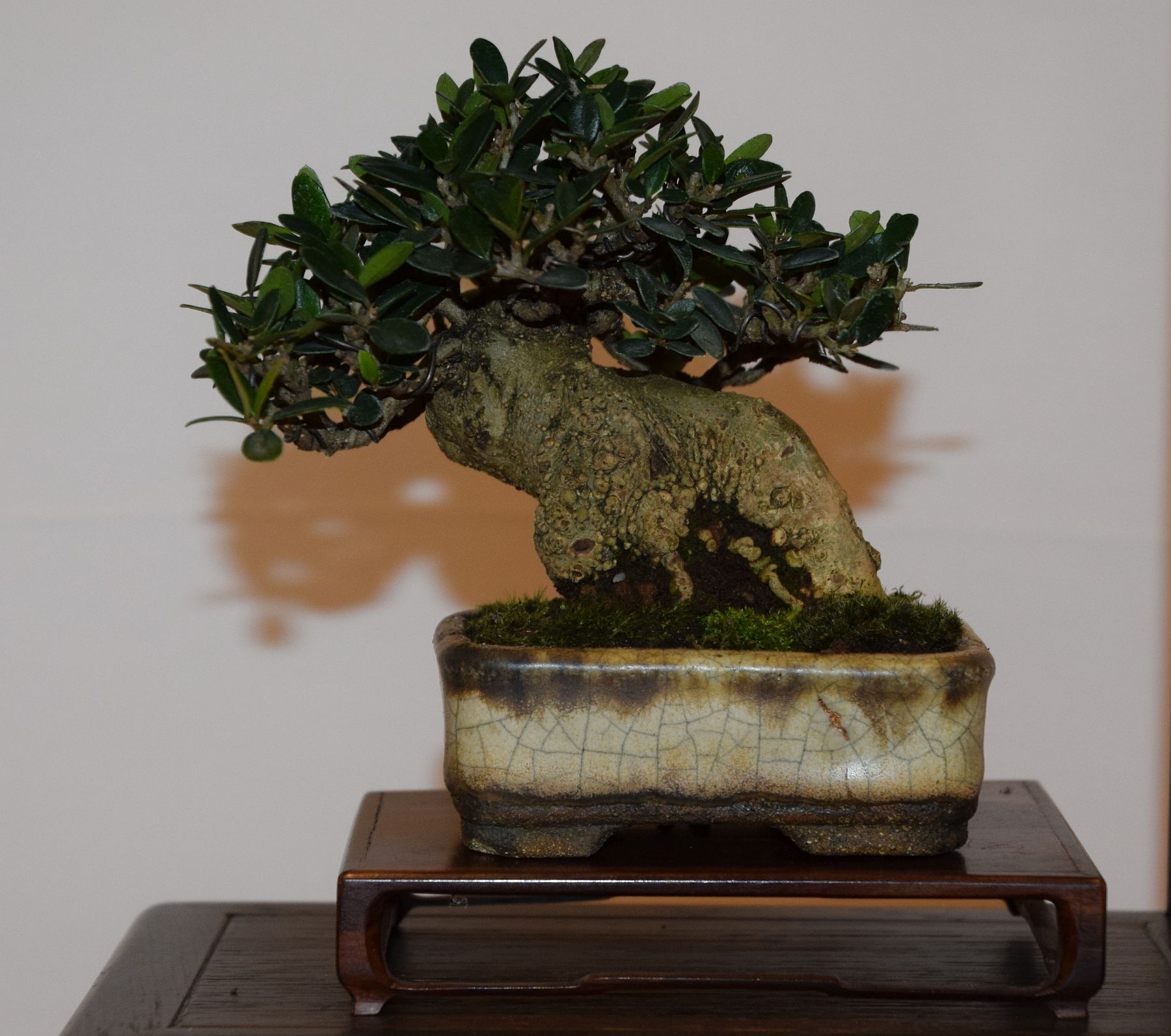 euk-bonsai-ten-2016-club-bonsai-109