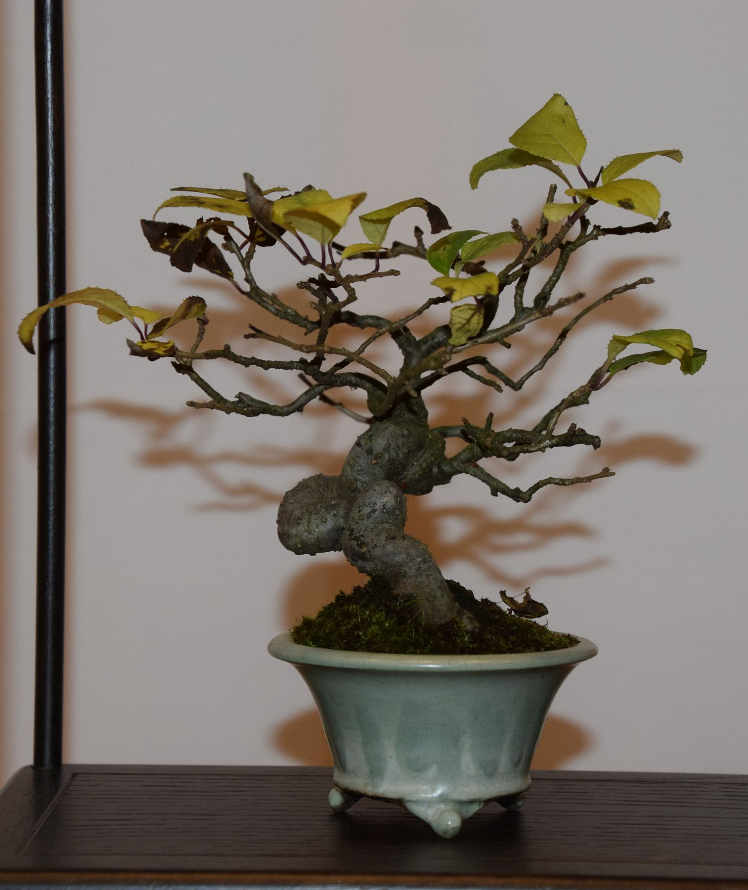 euk-bonsai-ten-2016-club-bonsai-110