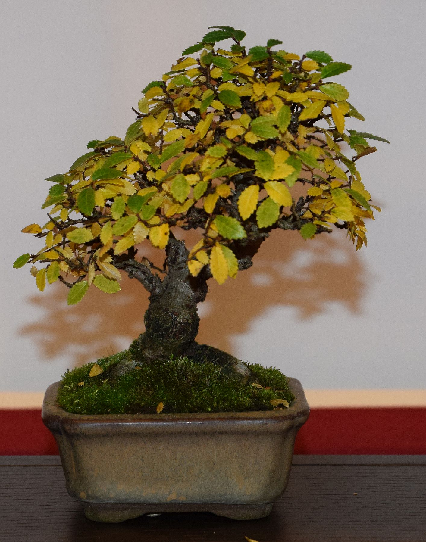 euk-bonsai-ten-2016-club-bonsai-112