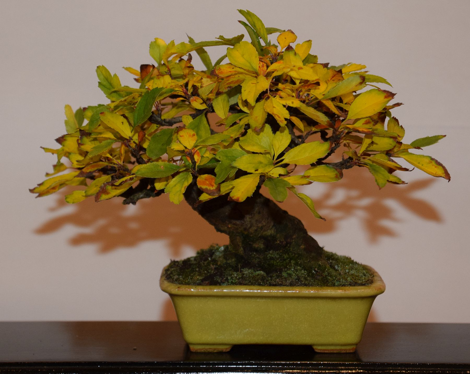 euk-bonsai-ten-2016-club-bonsai-115