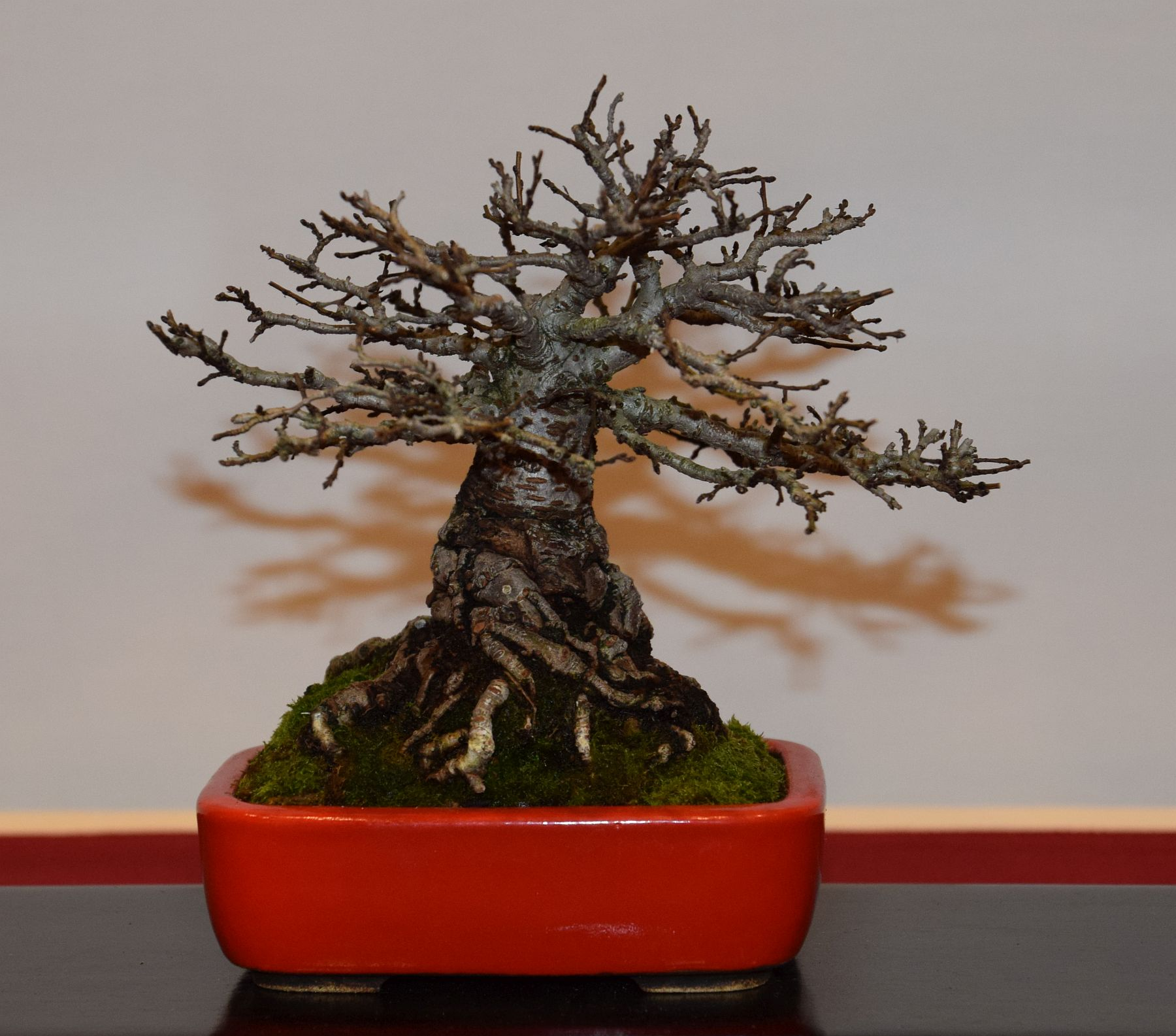 euk-bonsai-ten-2016-club-bonsai-116