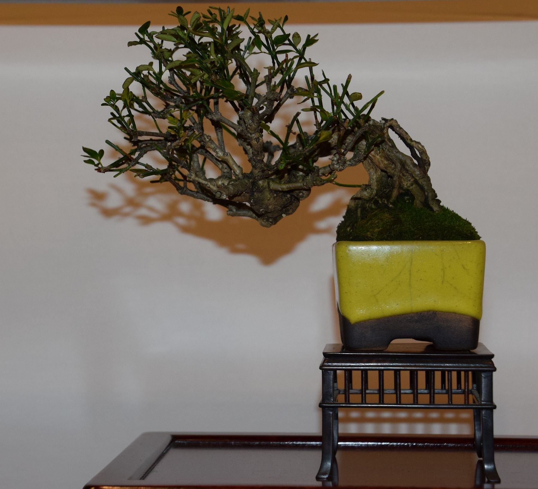 euk-bonsai-ten-2016-club-bonsai-118