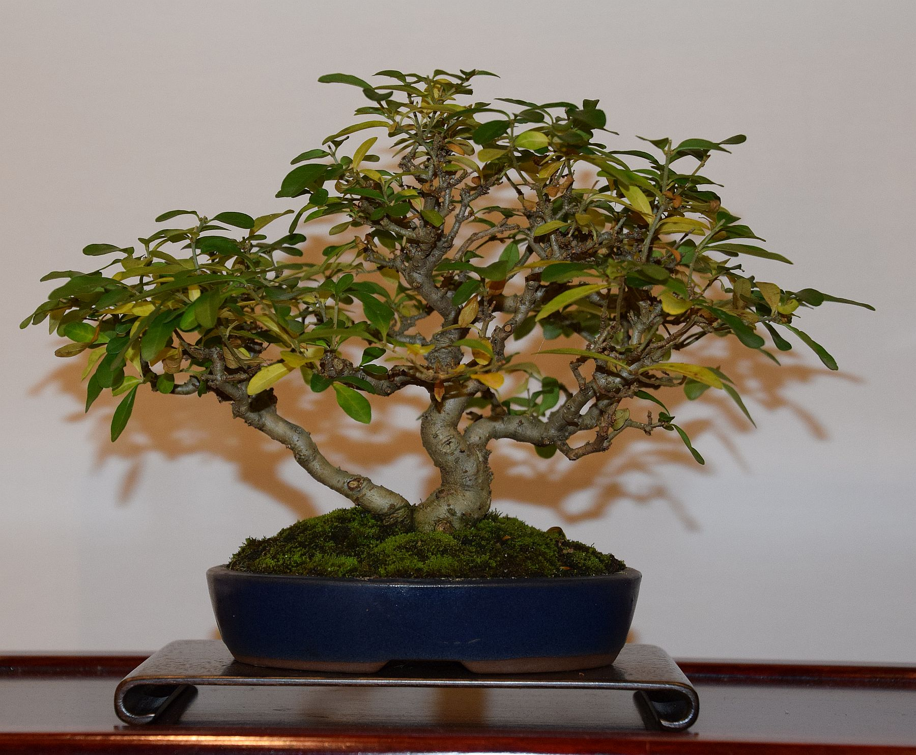 euk-bonsai-ten-2016-club-bonsai-119