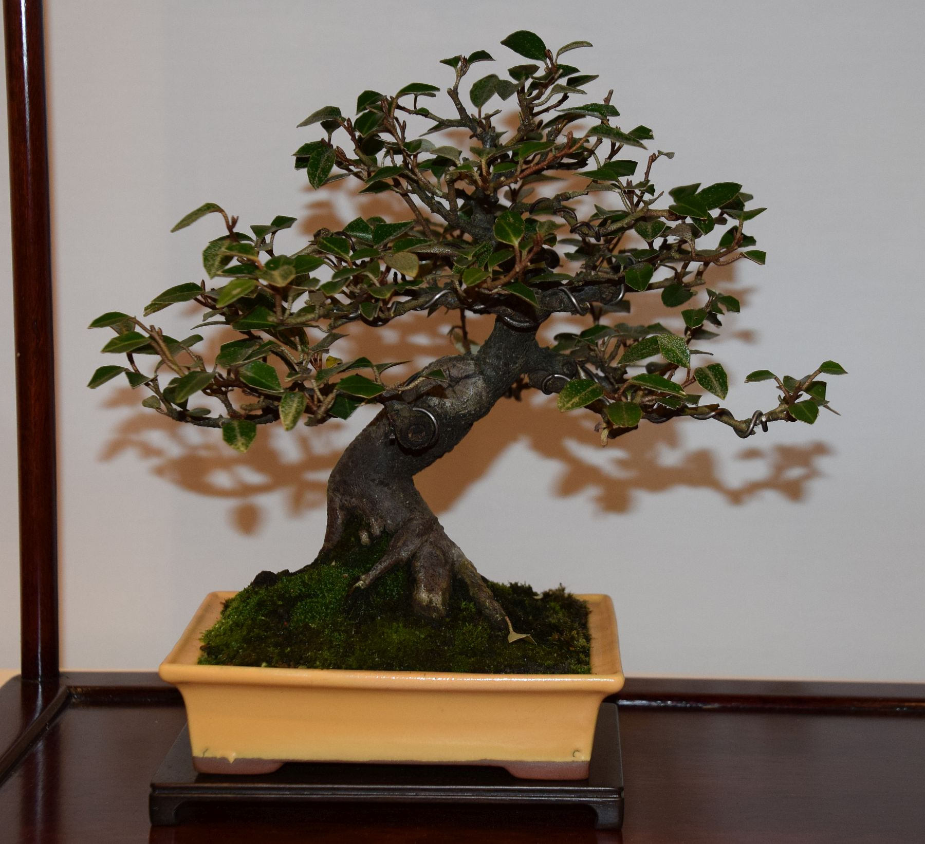 euk-bonsai-ten-2016-club-bonsai-121