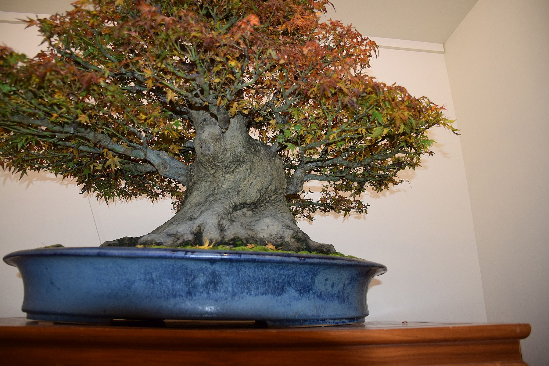 euk-bonsai-ten-2016-club-bonsai-134