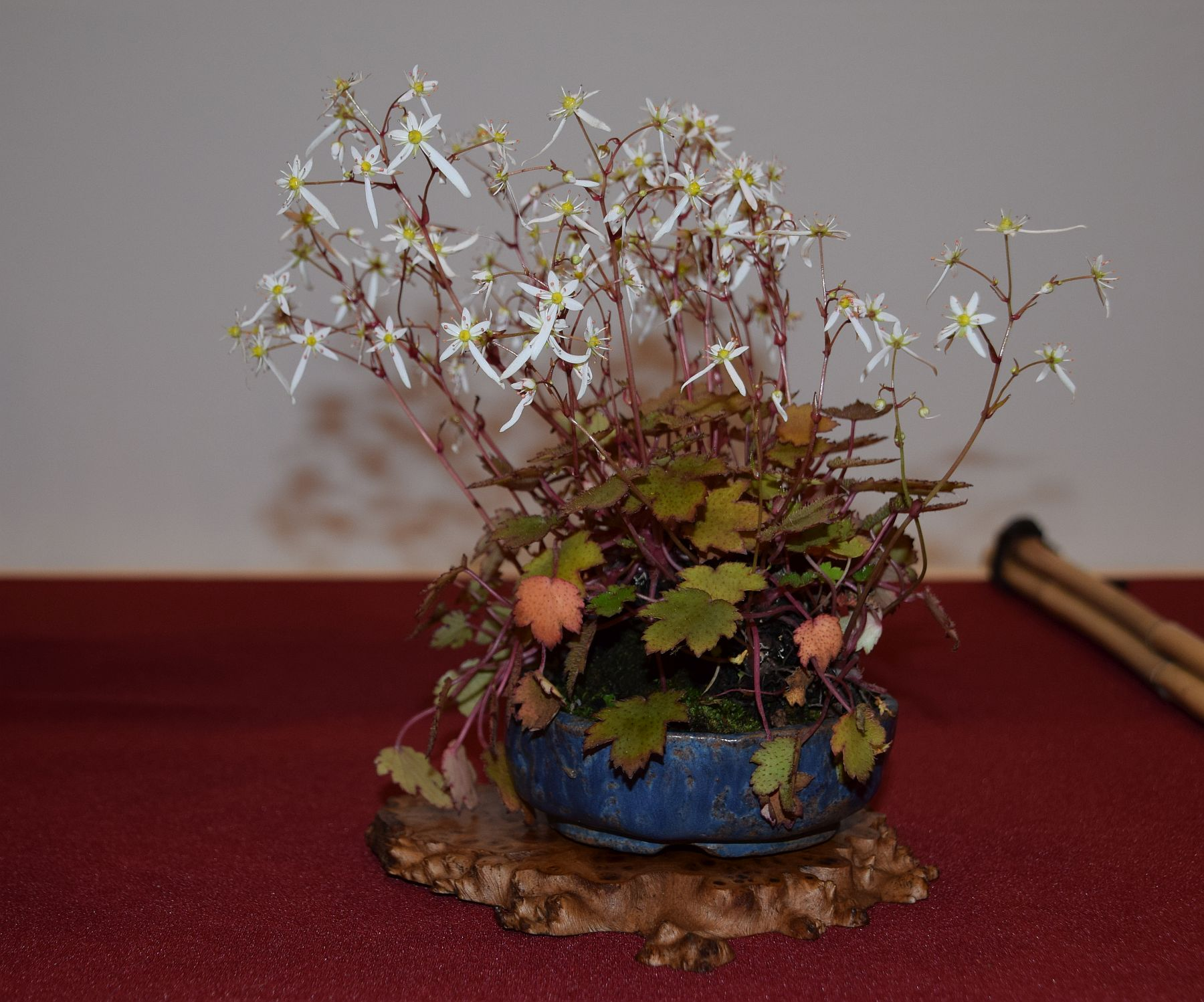 euk-bonsai-ten-2016-club-bonsai-139