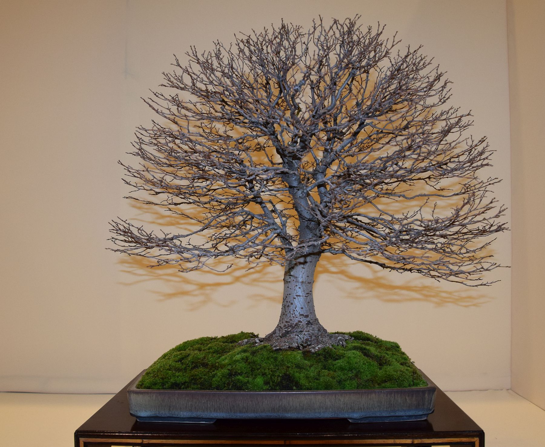 euk-bonsai-ten-2016-club-bonsai-152