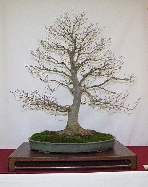 EUK Acer palmatum Harry Martens 2