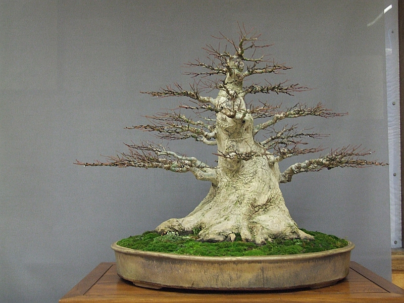EUK Acer palmatum JP Polmans 5