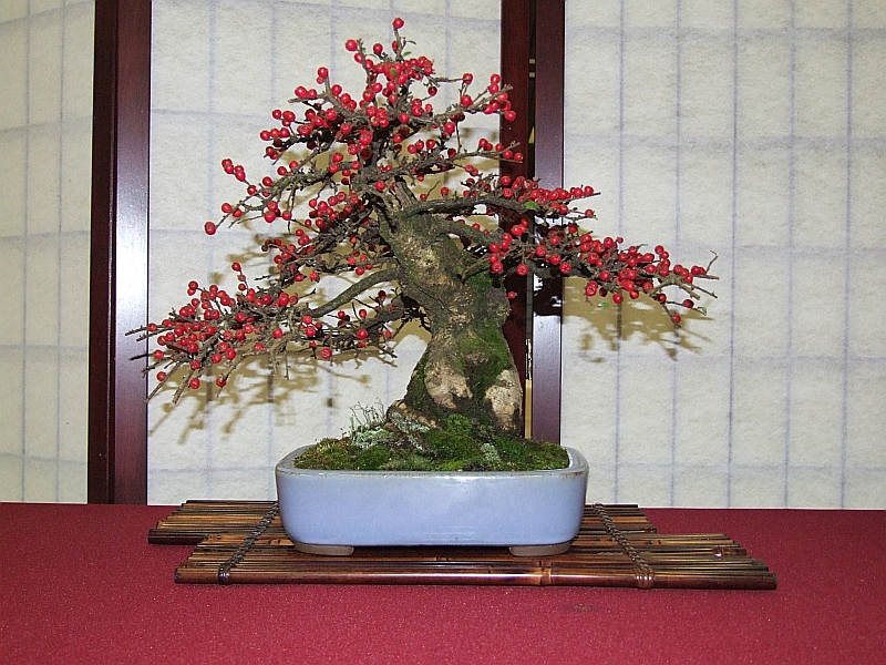 EUK Cotoneaster Yannick 4