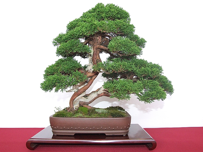 EUK Juniperus Harry Martens 4