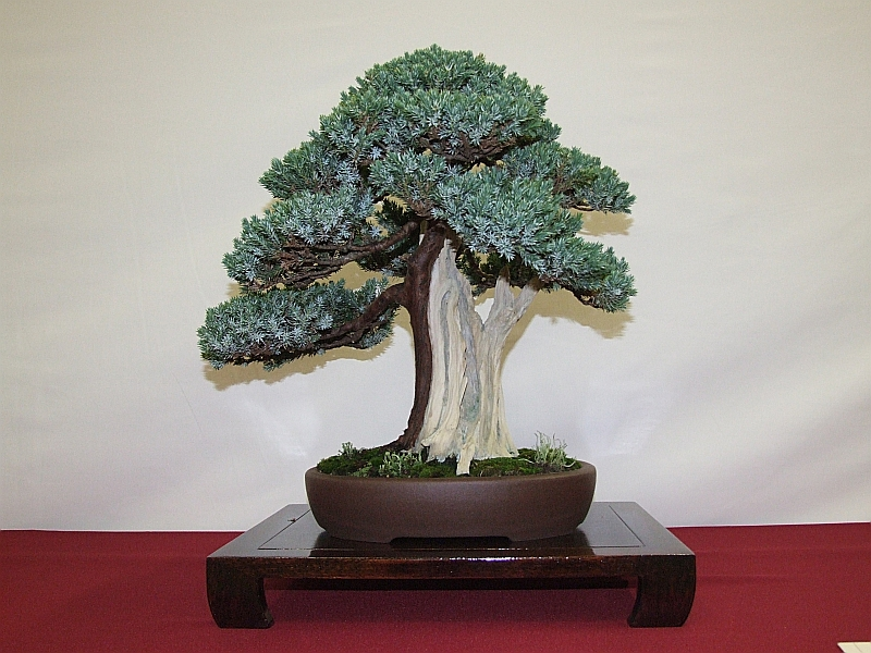 EUK Juniperus squamata Hennie 3