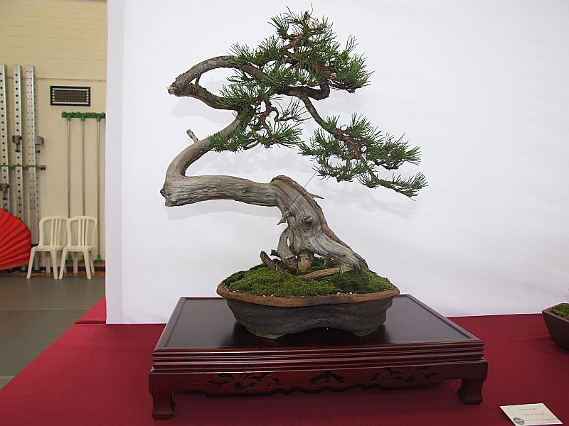 EUK Pinus Willy Goossens 3