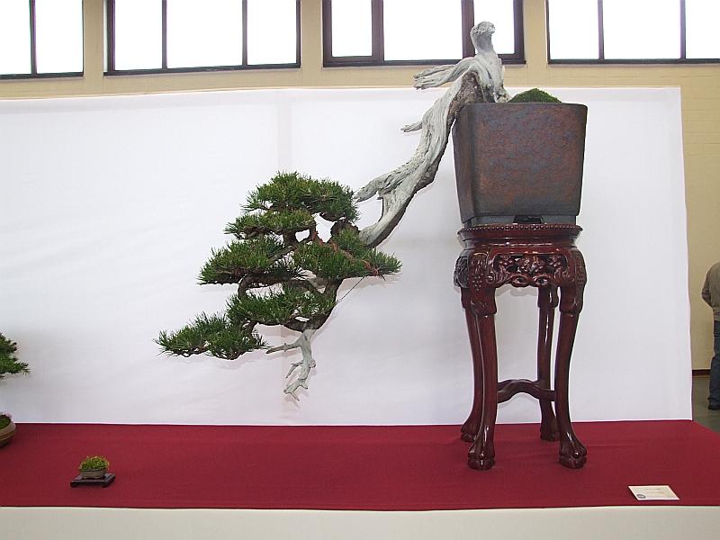 EUK Pinus mugo Paul Putseys 1