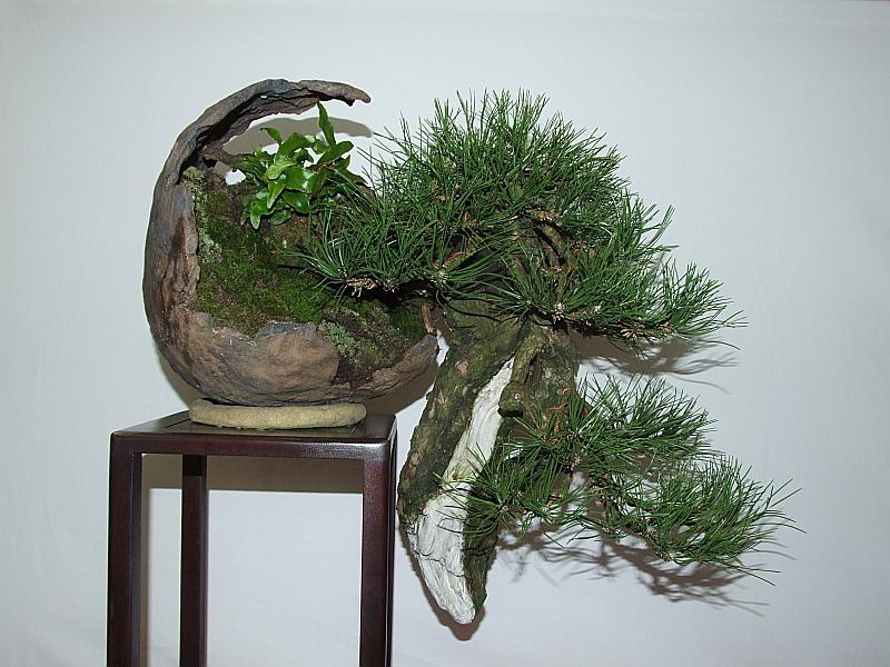 EUK Pinus nigra JP Polmans 5