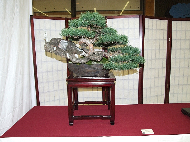 EUK Pinus sylvestris Paul Putseys 3